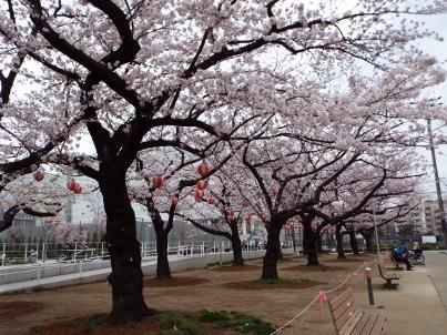 kinshi_sakura (12).jpg