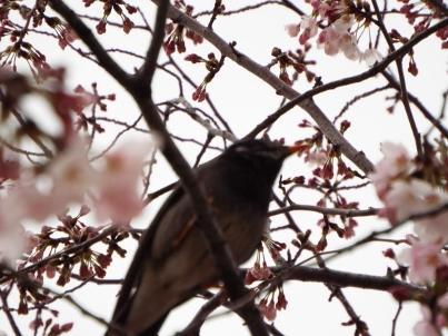 kinshi_sakura (14).jpg