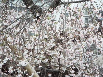 kinshi_sakura (17).jpg