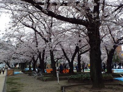 kinshi_sakura (19).jpg