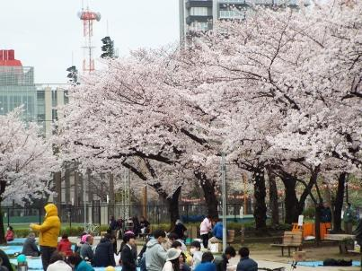 kinshi_sakura (6).jpg