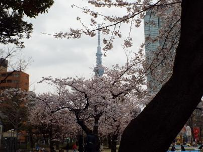 kinshi_sakura (3).jpg