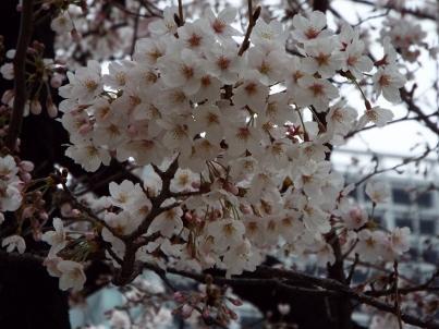 kinshi_sakura (5).jpg