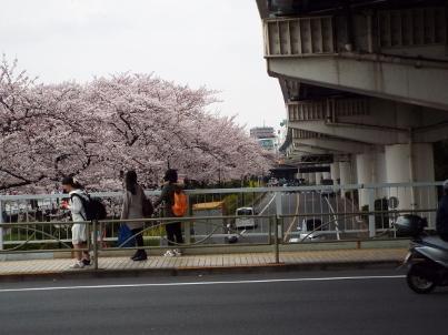 sumida_sakura (12).jpg