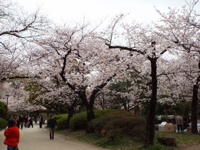 sumida_sakura (14).jpg