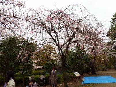sumida_sakura (15).jpg