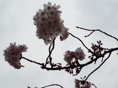 sumida_sakura (24).jpg