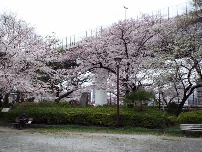 sumida_sakura (29).jpg
