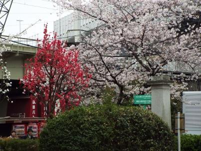 sumida_sakura (31).jpg