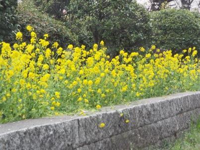 sumida_sakura (34).jpg