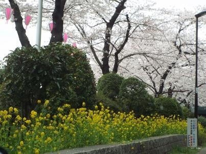 sumida_sakura (36).jpg