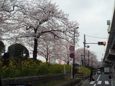 sumida_sakura (37).jpg