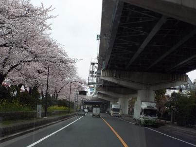 sumida_sakura (39).jpg