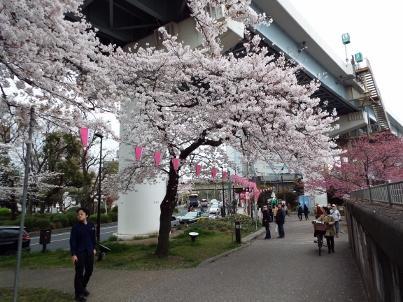 sumida_sakura (4).jpg